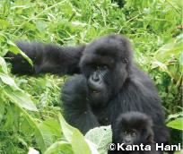 Endangered Gorillas